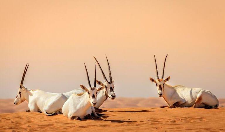 جاهای دیدنی دبی - پناهگاه حیاتوحش کویرالماروم
