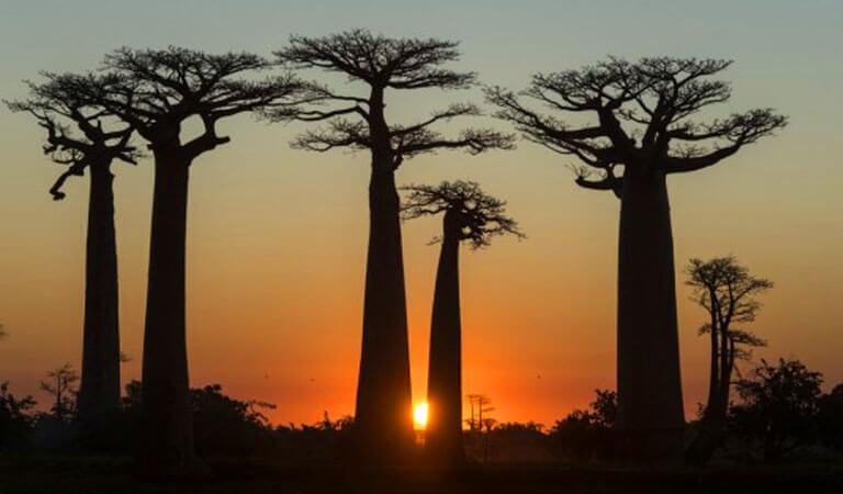 جزیره ماداگاسکار - خیابانی مملو ازدرختان بائوباب
