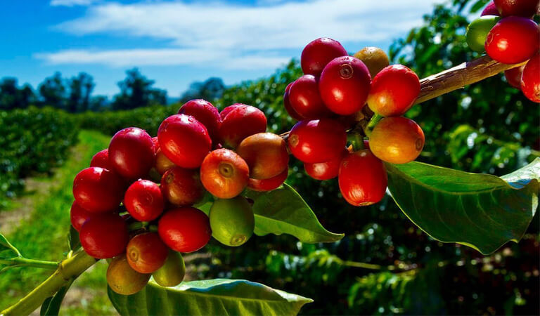 جزایر هاوایی - تور در مزرعه قهوه کونا